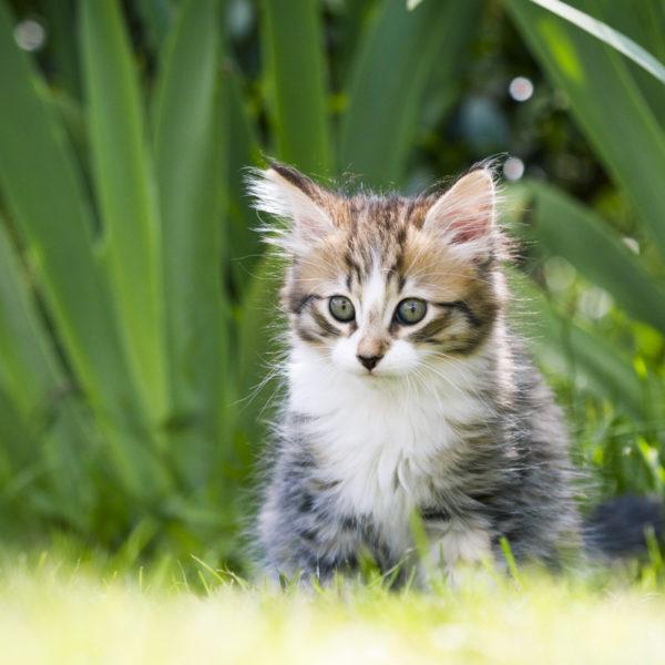 chaton-tigre-timon-herbes-portrait-cute-kitty-trop-mignon-sebastien-huruguen-photographe-animal-compagnie (1)