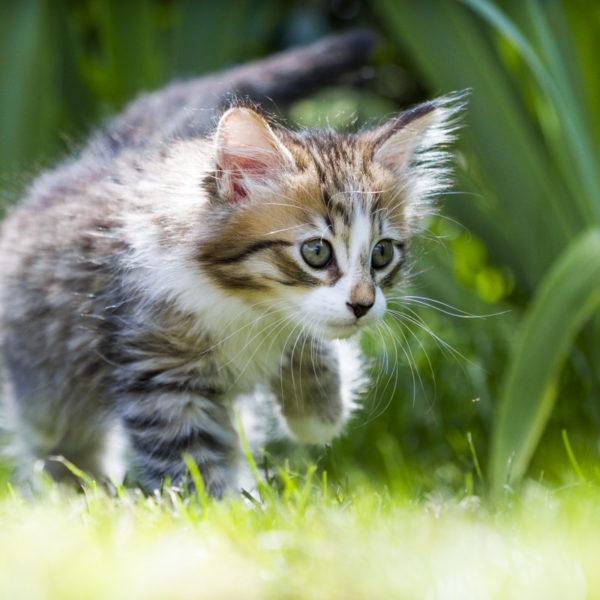 chaton-tigre-timon-herbes-portrait-cute-kitty-trop-mignon-sebastien-huruguen-photographe-animal-compagnie (2)