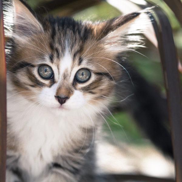 chaton-tigre-timon-herbes-portrait-cute-kitty-trop-mignon-sebastien-huruguen-photographe-animal-compagnie (3)