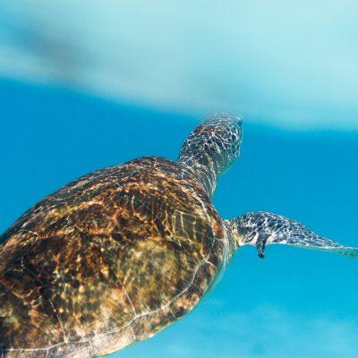 tortue caraibes underwater sous marine photo photographie plongee apnee grenadines iles bleu mer sebastien huruguen