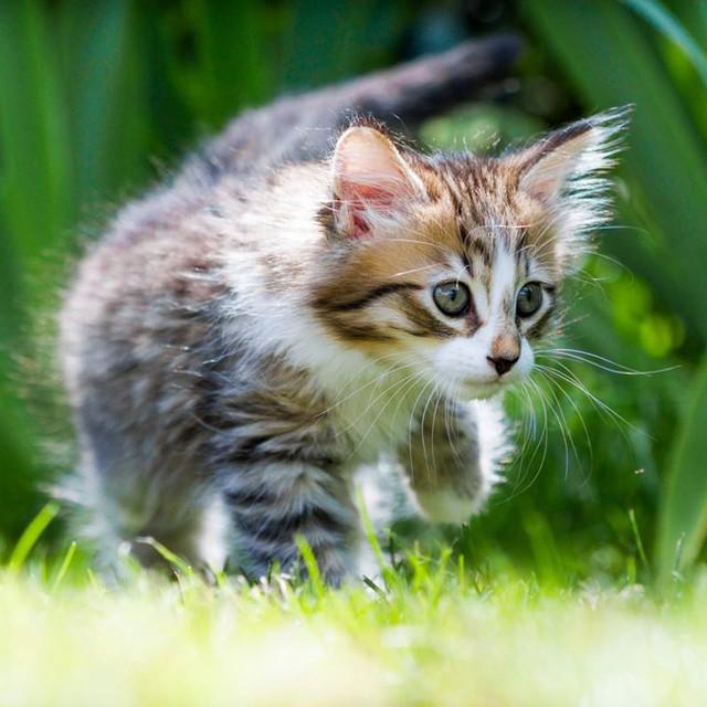 Timon #cat #kitten #chaton #miaou #huruguen #chat #tiger #timon