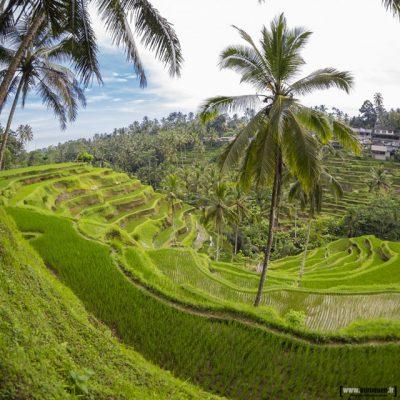 rice terrace bali rizieres riz cultures vertes terrasses terrasse palmier sebastien huruguen