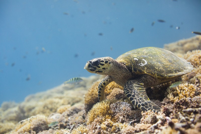 tortue turtle caraibes watershot photo aquatique sebastien huruguen caisson etanche plongee corail recif reef